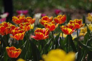 hochbeet-tulpen